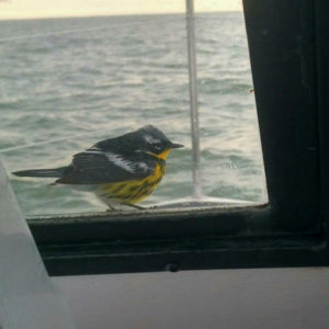 Magnolia Warbler on Charter Boat in Lake Erie