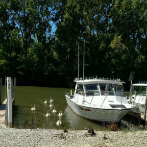 White Geese or Ducks Oak Harbor Ohio